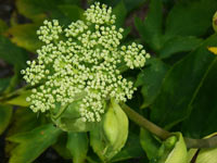 ashitaba herb plant